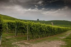 Rows of vines. In the vineyard rows Royalty Free Stock Photos