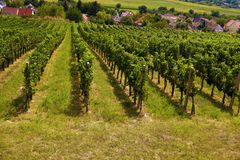 Southern Europe. Rows of vines in a vineyard. Rows of vines in a vineyard. Southern Europe stock photo