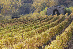 Rows of vines vineyards , beautiful light,  Tuscany, Italy Stock Photography