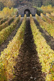 Rows of vines and vineyards ,  Tuscany, Italy Royalty Free Stock Photos