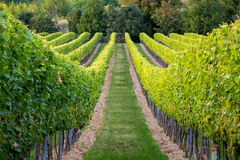 Rows of vines in warm light Stock Photography