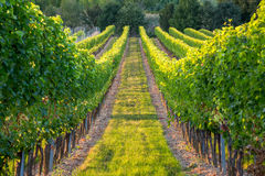Rows of vines in warm light Royalty Free Stock Image