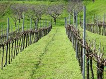 Rows of vines. In winter Stock Images
