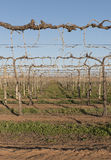 Rows of Vines in Winter Royalty Free Stock Photos