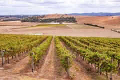 Vineyards in Yarra Valley near Melbourne, Australia. Rows of vines in a Yarra Valley vineyard, Australia stock images