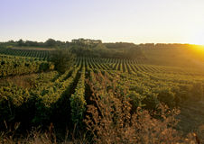 Rows of a vineyard Royalty Free Stock Images