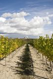 Rows of a vineyard Stock Photography