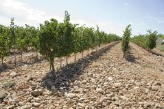 Rows of a vineyard Royalty Free Stock Photos