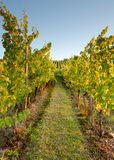 Rows in a vineyard Royalty Free Stock Image