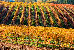 Rows of vineyard Royalty Free Stock Photos