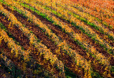 Rows of vineyard Stock Photo