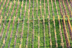 Rows of Vineyard Stock Image