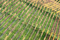 Rows of Vineyard Royalty Free Stock Photo