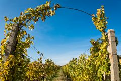 Rows of vineyard with blue sky after harvesting Stock Photos
