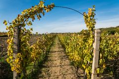 Rows of vineyard with blue sky after harvesting Stock Photo