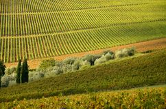 Rows of Vineyard in Chianti, Tuscany stock images