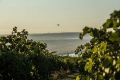 Rows of vineyard and drone in the sky Stock Images