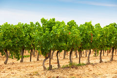 Rows of Vineyard Field in Southern France Stock Photos