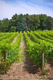 Rows of Vineyard Field in Southern France Royalty Free Stock Photos