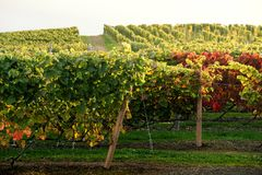 Rows of Vineyard Grape in Fall and Autumn Season. Landscape of Winery Farm Plantation. Taken before Sunset stock photo