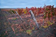 Rows Of Vineyard Grape Vines.Autumn Landscape With Colorful Vineyards.Grape Vineyards Of Moldova Republic.Autumn Color royalty free stock photos