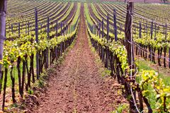 Rows of Vineyard Grape Vines. Spring landscape with green vineya Royalty Free Stock Photography