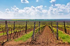 Rows of Vineyard Grape Vines. Spring landscape with green vineya Stock Images