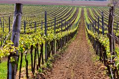 Rows of Vineyard Grape Vines. Spring landscape with green vineyards. Grape vineyards of South Moravia in Czech Republic stock images