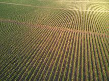 Rows of vineyard grape vines stock image