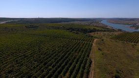 Rows of vineyard before harvesting. In Dobrogea, Romania Europe, aerial view from drone. Danube river in the background Stock Image