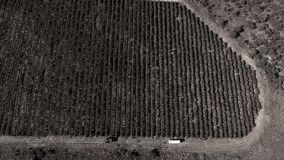 Rows of vineyard before harvesting. In Dobrogea, Romania Europe, aerial view from drone Stock Photos