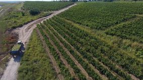 Truck among rows of vineyard before harvesting. Rows of vineyard before harvesting in Dobrogea, Romania Europe, aerial view from drone. Truck driving through stock video