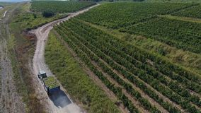 Truck among rows of vineyard before harvesting. Rows of vineyard before harvesting in Dobrogea, Romania Europe, aerial view from drone. Truck storing ripe grapes stock video footage