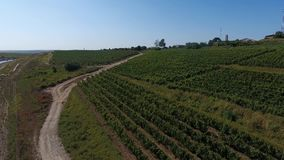Truck among rows of vineyard before harvesting. Rows of vineyard before harvesting in Dobrogea, Romania Europe, aerial view from drone. Truck storing ripe grapes stock video
