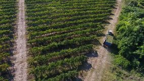 Truck among rows of vineyard before harvesting. Rows of vineyard before harvesting in Dobrogea, Romania Europe, aerial view from drone. Truck storing ripe grapes stock footage