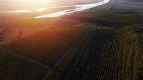 Rows of vineyard before harvesting, drone view. Rows of vineyard before harvesting in Europe, aerial view from drone royalty free stock image