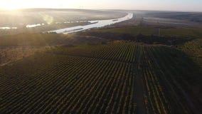 Rows of vineyard before harvesting, drone view