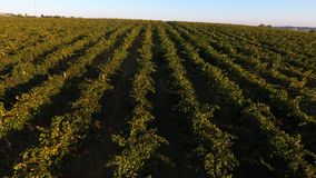 Rows of vineyard before harvesting, drone view. Rows of vineyard before harvesting in Europe, aerial view from drone stock images
