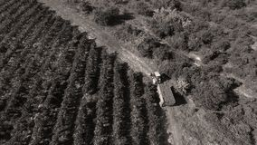 Rows of vineyard before harvesting. In Dobrogea, Romania Europe, aerial view from drone Stock Image