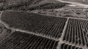 Rows of vineyard before harvesting. In Dobrogea, Romania Europe, aerial view from drone Royalty Free Stock Photos