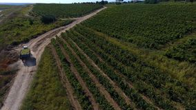 Rows of vineyard before harvesting. In Dobrogea, Romania Europe, aerial view from drone Royalty Free Stock Photography
