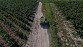 Rows of vineyard before harvesting. In Dobrogea, Romania Europe, aerial view from drone stock images
