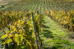Rows of vineyard after harvesting Stock Image
