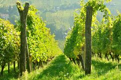 Rows of vineyard on hill before harvesting Stock Photos