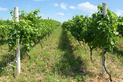 Rows of  vineyard immature summer day Stock Photos