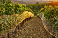 Rows of vineyard with protective nets Royalty Free Stock Photos