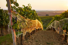 Rows of vineyard with protective nets Stock Photos