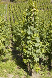 The rows of vineyard on a slope of hill Royalty Free Stock Photo