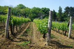 Rows in vineyard. Rows in the vineyard on the slope near Smederevo in Serbia Royalty Free Stock Photography