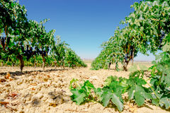 Rows of vineyard in Spain.  Grapes Tinta de Toro Royalty Free Stock Photo